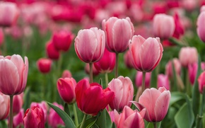 Wallpaper pink, tulips, buds