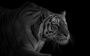 Picture tiger, predator, sneaks, handsome