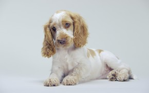 Picture cute, puppy, ears, Spaniel