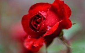 Picture blur, scarlet rose, drops