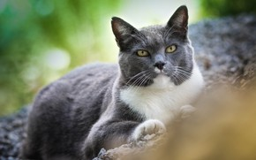 Picture cat, cat, look, nature, grey, stay, important, damaty
