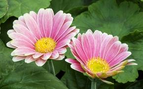 Picture macro, pink, gerbera