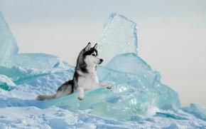 Picture winter, ice, dog, Husky