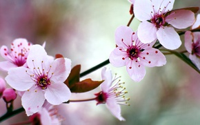 Wallpaper garden, spring, flowering, cherry