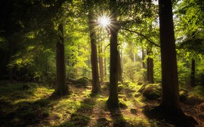 Picture forest, the sun, rays, trees
