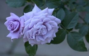 Picture flower, macro, rose, Bush, petals, Bud