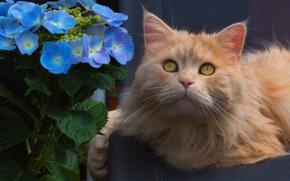 Picture flower, cat, look, portrait, muzzle, hydrangea, red cat