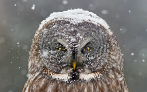 Picture winter, snow, owl, bird, looks