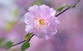 Picture flower, cherry, spring, petals, garden, Sakura