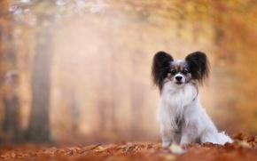 Picture autumn, dog, bokeh, Papillon, The continental toy Spaniel