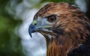 Picture eyes, bird, eagle, beak