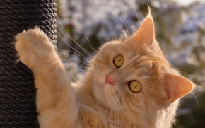 Wallpaper cat, paw, red cat, scratching post, muzzle, look, cat