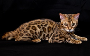 Picture pattern, breed, Bengal
