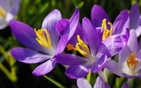 Picture macro, joy, flowers, nature, beauty, plants, spring, crocuses, primroses, the color purple, cottage, flora, bulbous