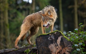 Picture forest, nature, animal, wolf, predator, logs