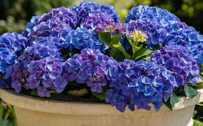 Picture Flowers, flowering, shrub, Hydrangea