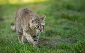 Picture cat, look, lawn