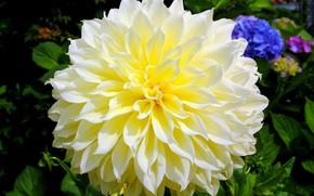 Picture tenderness, petals, Dahlia, yellow Dahlia