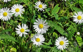 Picture Grass, Chamomile, Grass, Daisy, Camomile