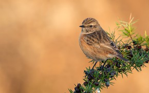 Picture birds, branch, female, stonechat