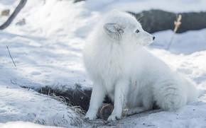 Picture winter, white, snow, Fox, profile, white, face, sitting, Fox, Fox, polar, Arctic