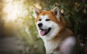 Picture language, dog, red, Ame