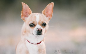 Picture dog, look, face, background, ears, Chihuahua
