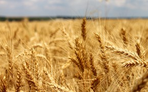 Picture field, summer, nature, background, Wallpaper, rye, beauty, bread, ears, spaces, Russia!