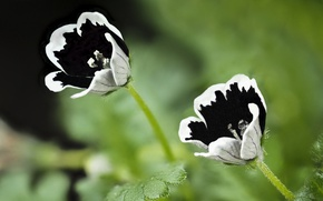Picture Black White, white flowers, depth of field, Tiny small