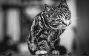 Wallpaper cat, cat, kitty, black and white photo