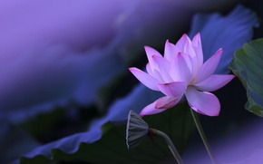 Picture flower, leaves, flowers, background, pink, petals, stem, Bud, Lotus, box, blurred, composition, lilac background