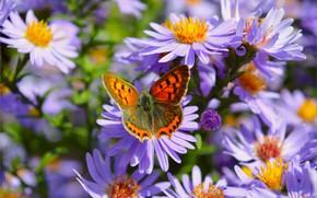 Picture Macro, Butterfly, Macro, Purple flowers, Butterfly, Purple flowers