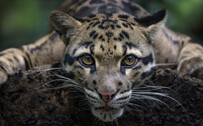 Picture look, face, wild cat, Clouded leopard
