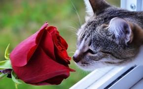 Picture cat, rose, scarlet rose