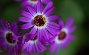 Picture macro, petals, Cineraria