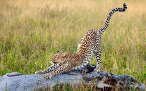 Wallpaper stretching, big cat, Africa, grass, leopard