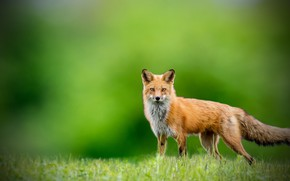 Picture look, background, Fox, Fox