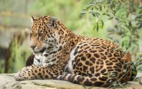 Picture cat, animal, stay, Jaguar
