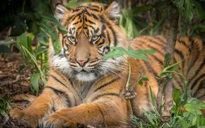 Picture tiger, animal, predator, wool, color, beast
