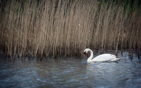 Picture nature, lake, reed, Swan