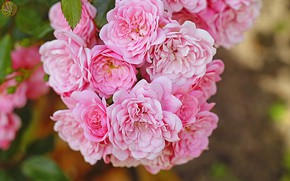 Picture pink, roses, bunch