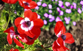 Picture Macro, Macro, Red poppies, Red flowers, Red poppy