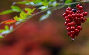 Picture nature, berries, drop, bunch