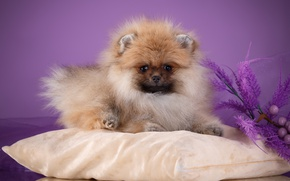 Picture fluffy, pillow, Spitz