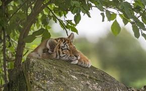 Wallpaper stone, tiger, tiger, tree