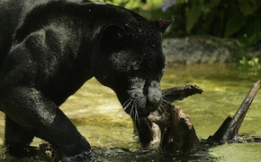Picture face, predator, Panther, bathing, wild cat, zoo, black Jaguar