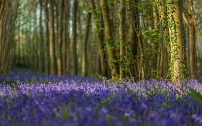 Picture forest, trees, flowers, England, bells, England, Dorset, Dorset
