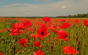 Picture field, the sky, clouds, landscape, red, green, green, blue, color, Mac, horizon, red, al, flower, …