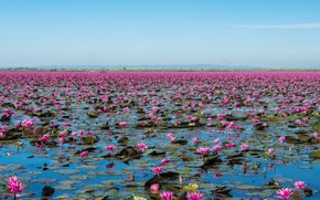 Picture Flowers, Nature, Lake, Landscape, Flowering, Water lilies