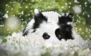 Picture look, face, dog, flowers, bokeh, The border collie